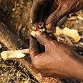 Préparation traditionnelle et manuelle des noix de Cajou, fruit de l'Anacardier, île de Sipo, delta du Sine Saloum, Sénégal.jpg