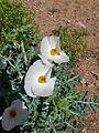 Prickly Poppy.jpg