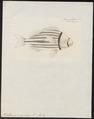 Pristipoma virginicum - 1774-1804 - Print - Iconographia Zoologica - Special Collections University of Amsterdam - UBA01 IZ13000123.tif