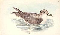 Procellaria hasitata