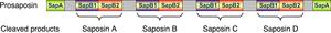 Saposin protein domain - Image: Prosaposin schematic