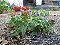 Prunella vulgaris (14207276489).jpg