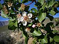Prunus fremontii closeup.jpg