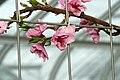 Prunus persica var. nucipersica Redgold 0zz.jpg