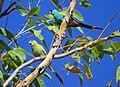 Psephotus dissimilis -Northern Territory, Australia -pair-8 (2).jpg