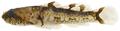 Psilotris batrachodes - pone.0010676.g178.png