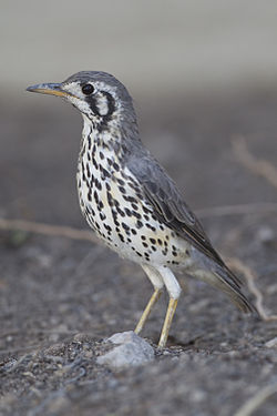 Medium sized songbird stands upright with greyish upperbody, blackened wings, white underparts streaked with black, a white face with a prominent black crescent behind the eye and black line running from the eye down, and grey bill with yellow below