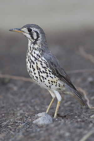 Thrush (bird) - Groundscraper thrush