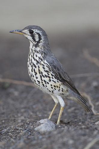 Thrush (bird) - Groundscraper thrush (Psophocichla litsitsirupa)