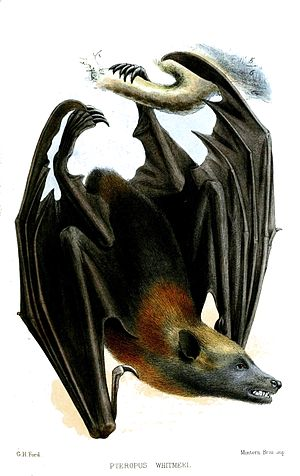 Samoa flying fox - Image: Pteropus Whitmeei Ford