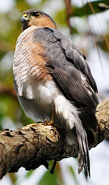 Puerto Rican Sharp-shinned hawk perched on tree limb.jpg