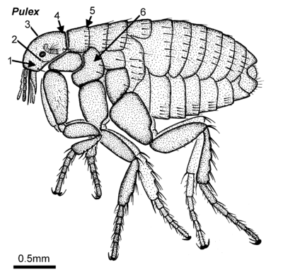 Pulex adult lateral.png