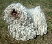 The Puli's corded coat requires a large amount of patient grooming to keep it attractive.