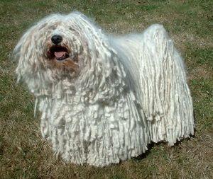 Große Hundeschwanz Bilder