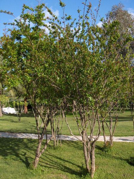 List of Plants 450px-Punica.granatum%2801%29