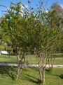 Punica.granatum(01).jpg