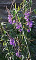 Purple Toadflax (Linaria purpurea) - geograph.org.uk - 938223.jpg