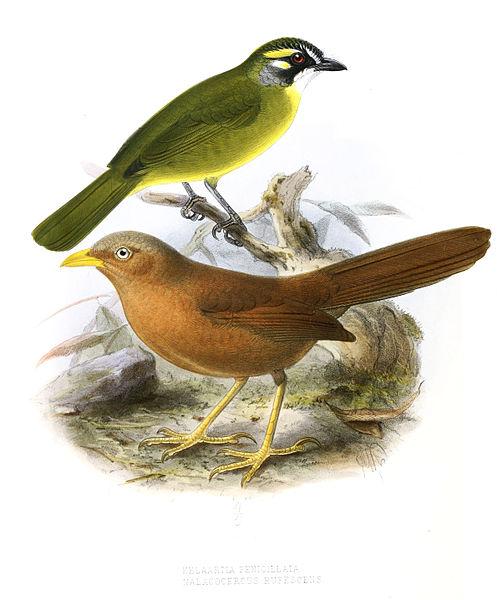 File:PycnonotusPenicillatusLegge.jpg