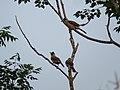 Pycnonotus aurigaster (40116221155).jpg