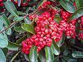 Pyracantha coccinea Fruits Closeup2 DehesaBoyalPuertollano.jpg