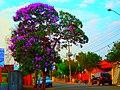 Quaresmeira na Rua João Leite- JD Oreana - panoramio.jpg