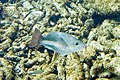 Queen parrotfish Scarus vetula (4657716910).jpg