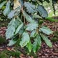 Quercus crassifolia in Hackfalls Arboretum (8).jpg