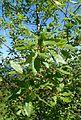 Quercus infectoria ssp veneris kz4.jpg