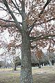 Quercus pagoda (24082924651).jpg