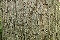 Quercus prinus 13zz.jpg