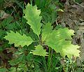 Quercus rubra IP0905004.jpg