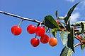 Röda körsbär.jpg