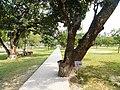 Rabindra memorial tree mango 2 .jpg