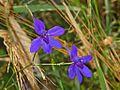 Ranuncolaceae - Consolida regalis-1.JPG