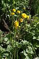 Ranunculus acris in Barysau district 2.jpg