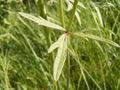 Ranunculus acris leaf2.jpg