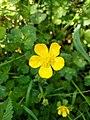 Ranunculus cortusifolius (antonio).jpg