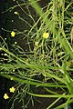 Ranunculus flammula 12zz.jpg