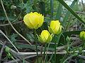 Ranunculus paludosus.JPG