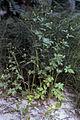 Ranunculus pensylvanicus NRCS-1.jpg