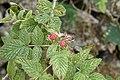 Raspberry (Rubus sp) 3761.jpg