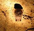 Ratpenat hibernant.jpg