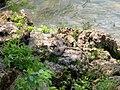 Recovered Lake Erie watersnake (Nerodia sipedon insularum) (8757944641).jpg