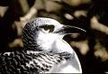 Red-Tailed Tropicbird.jpg