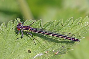 Red-eyed damselfly (Erythromma najas) female
