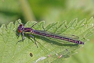 Erythromma najas - Image: Red eyed damselfly (Erythromma najas) female