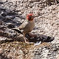 Red-headed Finch-5287 - Flickr - Ragnhild & Neil Crawford.jpg