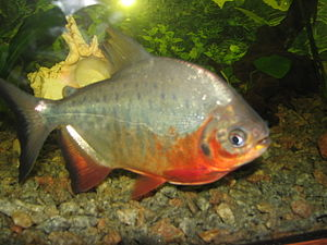 Pacu - A young red-bellied pacu