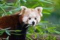 Red Panda (23647946548).jpg