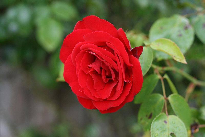 ����� ������ 800px-Red_Rosa_damascena_ورد_جوري.JPG